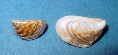 Left: Zebra Mussel (Dreissena polymorpha) Right: Quagga Mussel (Dreissena rostriformis bugensis) Photo: USGS